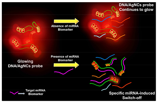 Principle of DNA/AgNC based microRNA detection method. Fluorescence of secondary structure forming DNA/AgNC sensor is dropped in the presence of specific target microRNA